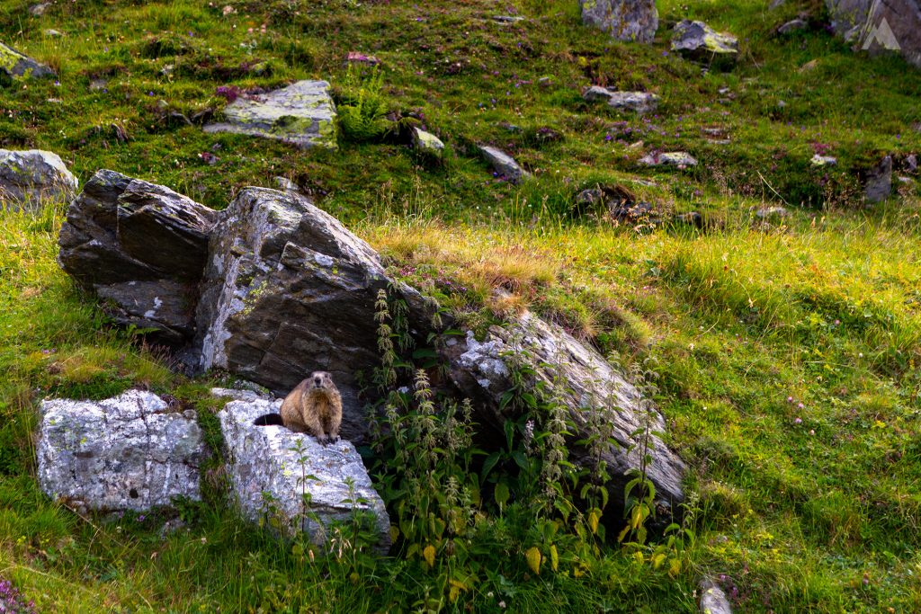 Murmeltiere am Splügenpass.